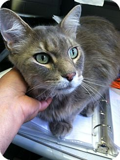 Domestic Longhair Cat for adoption in Fort Riley, Kansas - Timon
