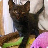 Adopt A Pet :: Orchid - Reston, VA
