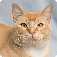 Adopt A Pet :: Linus - Fort Collins, CO