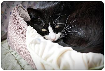 Domestic Shorthair Cat for adoption in Middletown, New York - Noah