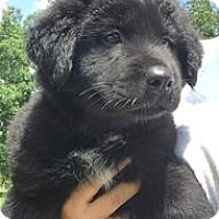 Adopt A Pet :: Lab mix pups--arriving soon! - Chichester, NH