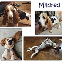Adopt A Pet :: Mildred - Marietta, GA
