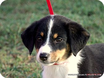 Border Collie/Beagle Mix Puppy for adoption in Waterbury, Connecticut - ANNIE/ADOPTED