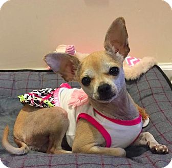Chihuahua Dog for adoption in New York, New York - Asia!