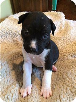 Pit Bull Terrier/Labrador Retriever Mix Puppy for adoption in Staunton, Virginia - Jesse