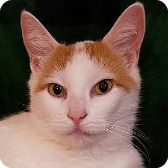 Domestic Shorthair Cat for adoption in Fairfax, Virginia - Honey