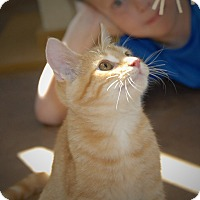 Domestic Shorthair Kitten for adoption in Wilmington, Ohio - Toby