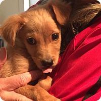 Adopt A Pet :: Yoshi - Parker Ford, PA