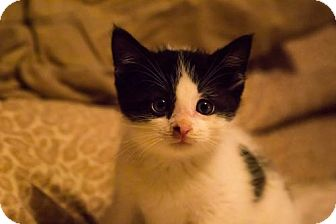 Domestic Shorthair Kitten for adoption in Nesquehoning, Pennsylvania - Franklyn