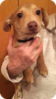 Jack Russell Terrier Mix Puppy for adoption in Renton, Washington - Cruise