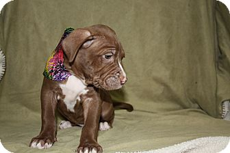 Pit Bull Terrier Puppy for adoption in Tehachapi, California - Sleepy