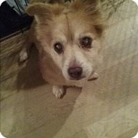 Pomeranian/Dachshund Mix Dog for adoption in Englewood, Colorado - Calvin