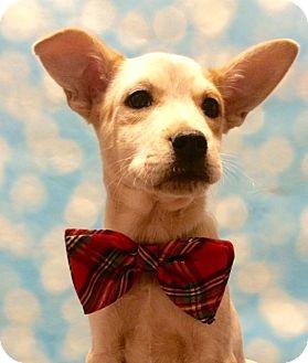 Cattle Dog/Labrador Retriever Mix Puppy for adoption in Hagerstown, Maryland - Corduroy
