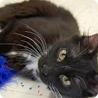 Adopt A Pet :: Comet-4.5 MONTHS-TUXEDO - Naperville, IL