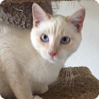 Siamese Kitten for adoption in Santa Rosa, California - Lemon