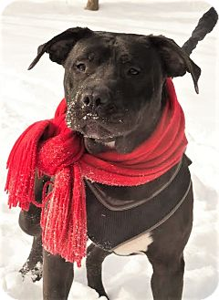 Labrador Retriever/Pit Bull Terrier Mix Dog for adoption in Glastonbury, Connecticut - Bastion~meet me~new pics!