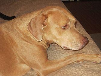 Vizsla/Labrador Retriever Mix Dog for adoption in Cerritos, California - Simon