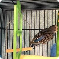 Adopt A Pet :: BLUE - Dedham, MA