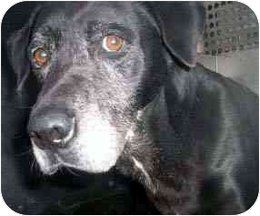 Labrador Retriever Dog for adoption in Emory, Texas - Henry