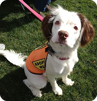 Spaniel (Unknown Type)/Clumber Spaniel Mix Dog for adoption in Phoenix, Arizona - Dottie