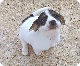 Rat Terrier Mix Puppy for adoption in Groton, Massachusetts - Gidget