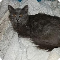 Russian Blue Cat for adoption in Fenton, Missouri - Emily