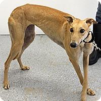 Adopt A Pet :: Darlin - Santa Rosa, CA