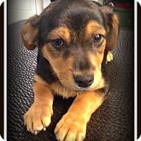 Adopt A Pet :: Brownie - Indian Trail, NC