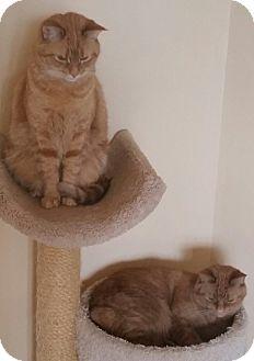 Domestic Shorthair Cat for adoption in Gainesville, Virginia - Suki
