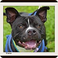 Adopt A Pet :: Parker-Needs foster home - Memphis, TN