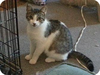 American Shorthair Cat for adoption in Avon, New York - Elsie