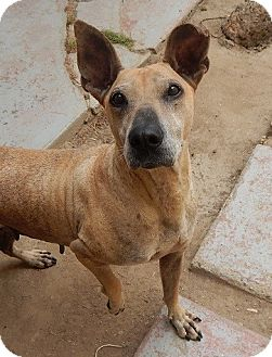 Rhodesian Ridgeback Mix Dog for adoption in BONITA, California - Aurora