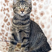 Domestic Shorthair Cat for adoption in St Louis, Missouri - Melissa