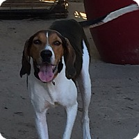 Treeing Walker Coonhound Mix Dog for adoption in Dallas, Texas - Madame Roxy