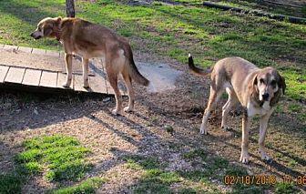 Hound (Unknown Type)/Husky Mix Dog for adoption in Oswego, New York - PAYTON & CACHE