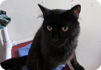 Domestic Longhair Kitten for adoption in Grinnell, Iowa - Chevy