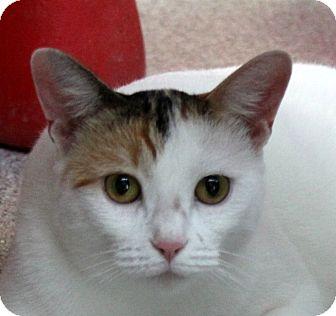 Domestic Shorthair Cat for adoption in Sarasota, Florida - Sundae
