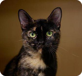 Domestic Shorthair Cat for adoption in Kettering, Ohio - Lark