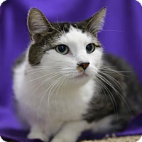 Domestic Shorthair Cat for adoption in Kettering, Ohio - Sammy Boy