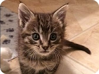 Domestic Shorthair Kitten for adoption in Great Falls, Montana - Spanky