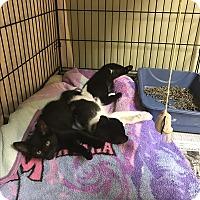 Adopt A Pet :: Fireball - Island Park, NY