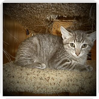 Domestic Shorthair Kitten for adoption in Medford, Wisconsin - IVAN