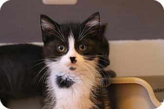 Domestic Shorthair Kitten for adoption in Rochester Hills, Michigan - Blu