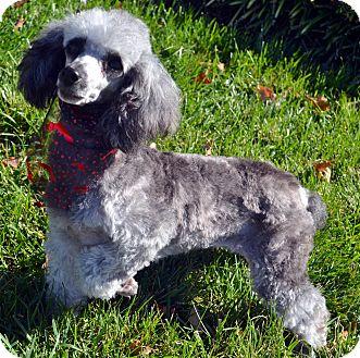 Poodle (Miniature) Dog for adoption in Bridgeton, Missouri - Dorothy