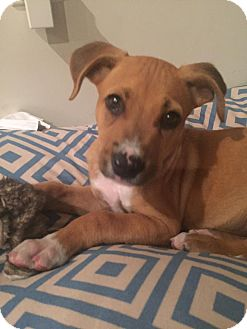 Boxer Mix Puppy for adoption in North East, Florida - Eli