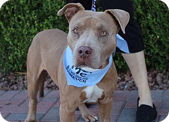 American Pit Bull Terrier Mix Dog for adoption in Las Vegas, Nevada - BEN
