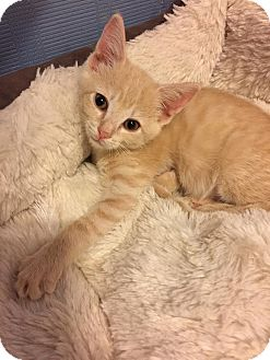 Domestic Shorthair Kitten for adoption in Mooresville, North Carolina - A..  Sydney