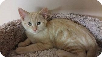 Domestic Mediumhair Cat for adoption in Troy, Michigan - Jake