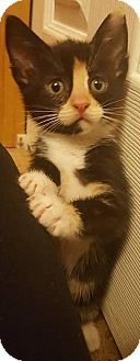 Domestic Shorthair Kitten for adoption in Bellingham, Washington - Merida