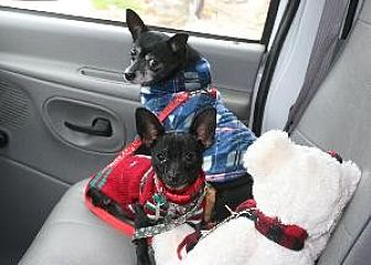 Chihuahua Mix Dog for adoption in Richardson, Texas - Roxy Ann
